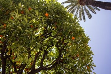 Citrusy v Nice