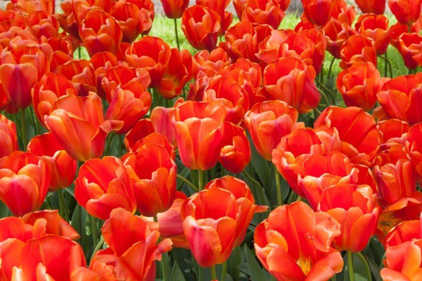 Tulipany, Keukenhof