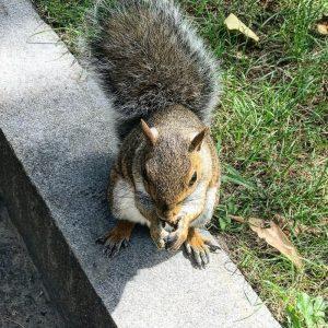 Veverička v Boston Common