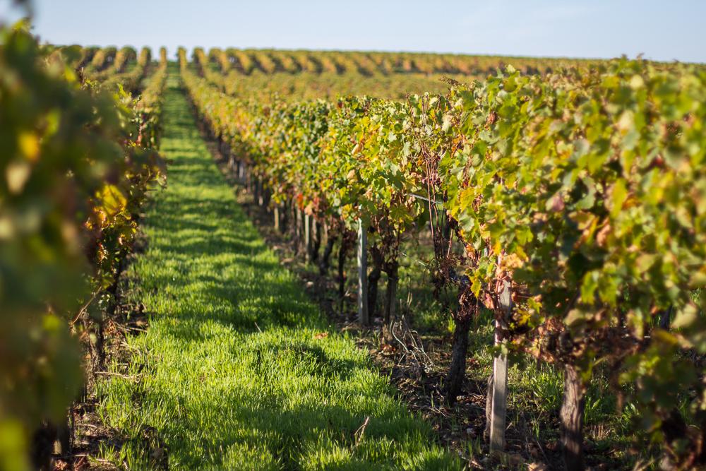 Vinice, vinice, vinice.