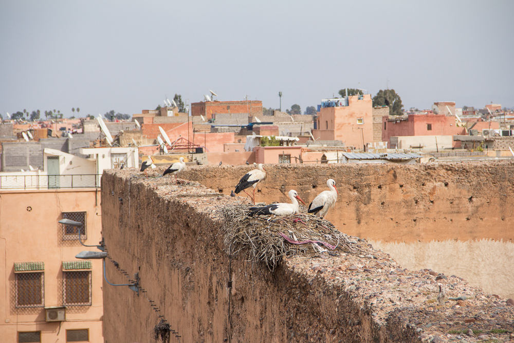 Kam na zimu lietajú bociany? No predsa do Maroka!